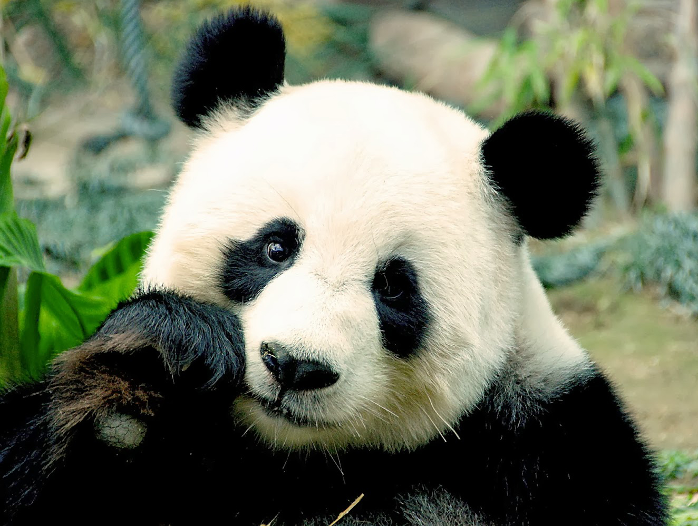 panda eating ashburn